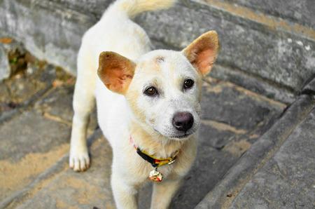 white dog close up (thai dog)
