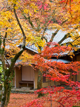 miracle leaf: Japan in autumn