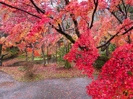 japan autumn tree background - Stock Image photo
