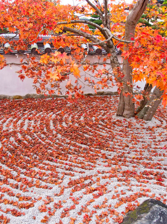 miracle leaf: japan autumn tree background - Stock Image