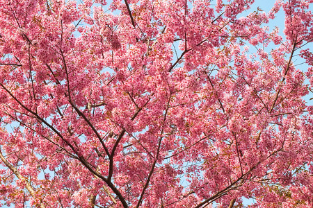 Cherry blossoms of Thailand