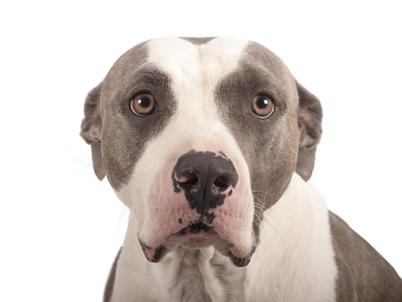 gardian: american staffordshire terrier on a white background