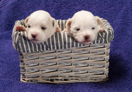 Shitzu puppies in a basket photo