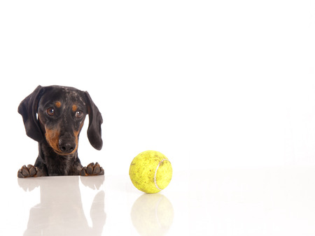 Tiger dachshund and tennis ball on a white background photo