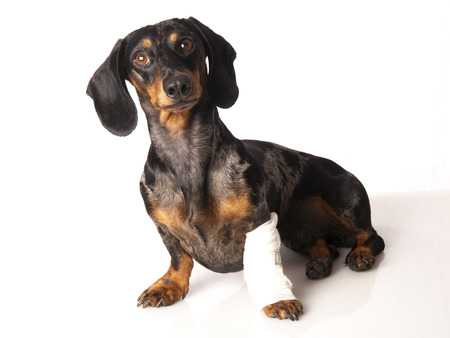 animal leg: tiger dachshund with a bandage on his leg on a white background