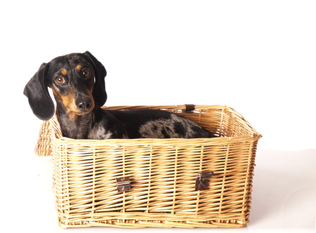 tiger dachshund in a basket on a white background photo