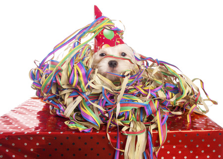 maltese dog with party hat with white background photo