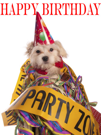 maltese dog with party hat with birthday congratulations photo
