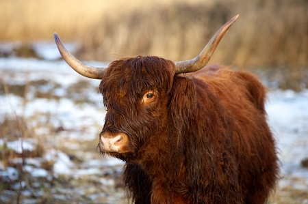 highlander: highlander scozzese