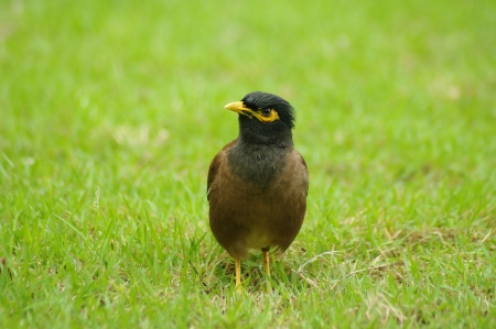 sward: Common Myna in sward Stock Photo
