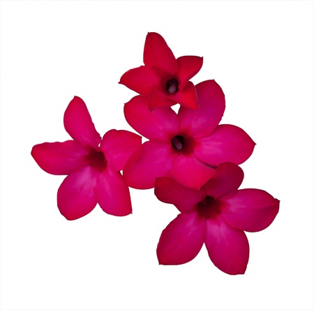 Red Desert Rose with white background photo