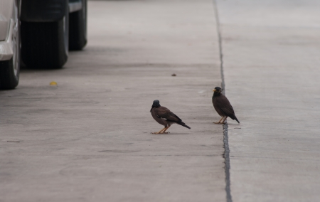 Two Common Myna  on road photo