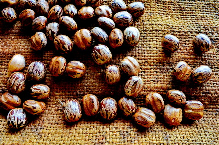 castor: castor beans in brown color. Stock Photo