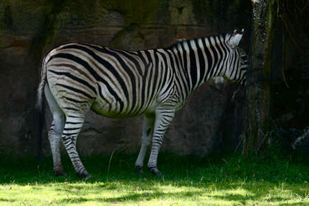 zebra at the oregon zoo.