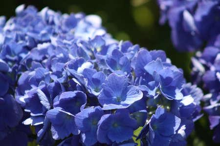 Blue   Hydrangea flower Zdjęcie Seryjne