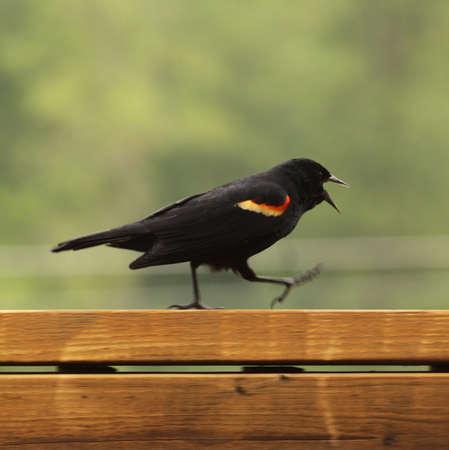 赤い翼の黒い鳥、オレゴン州にある唯一の黒い鳥。水の大きな体の近くに住んでいます。