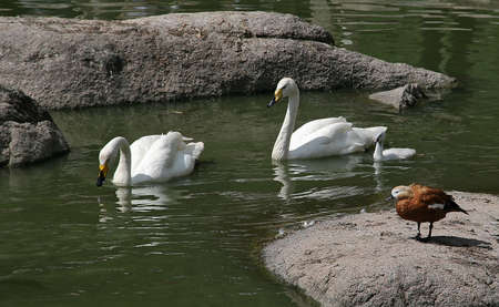 ruffle: Two swans and a cygnet are swimming in a lake past a ruddy shelduck