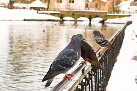 Group of doves sitting on big park pond railing in winter photo
