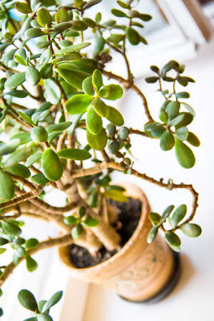 jade plant: Green crassula or jade plant closeup with shallow depth of field