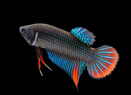 Multi-color or colorful of male.Siamese fighting fish was isolated and ready to fight on Black background.