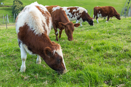 jersey cattle: Brown cows eating green grass