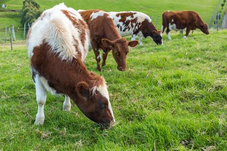 vaca: Vacas Brown comiendo la hierba verde