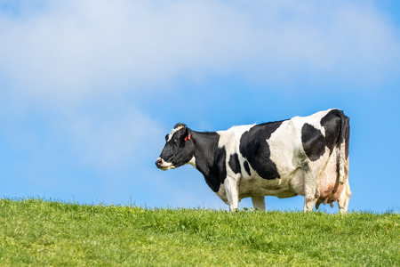 Pregnant cow in green grass paddock