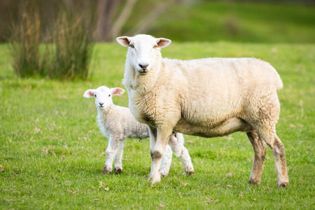 spring lambs: Mother sheep with a baby lamb