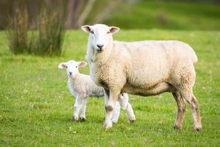 Mutter Schafe mit einem Baby Lamm Standard-Bild