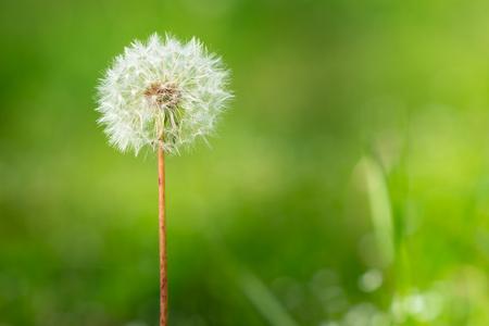 Single dandelion flower on green grass background