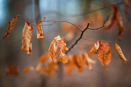 Brown dead autumn leaves on tree Stock Photo - 100279488