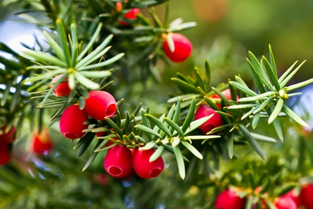 berry fruit: Yew tree with red fruits Stock Photo