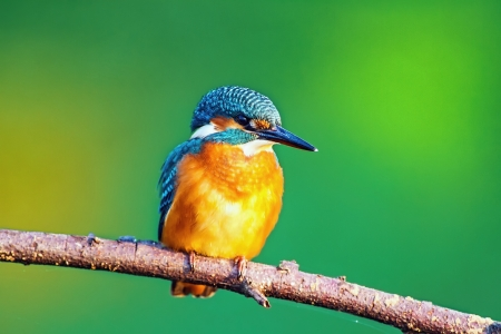 skillful: Kingfisher watching for prey, sitting on a branch