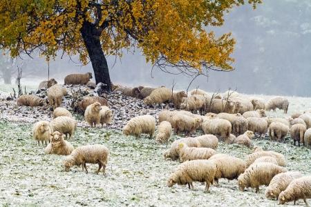 Sheep grazing on a snowy meadow
