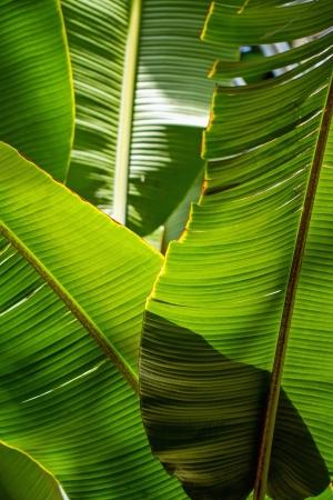 Banana leaf backlit sun - background photo