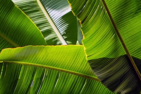 Banana leaf backlit sun - background