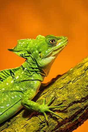 casque: Green Crested Basilisk - sitting on the branch