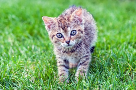 annealed: Annealed kitten playing on the grass
