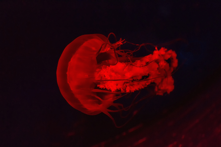 Jellyfish in aquarium lighted red light photo