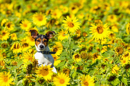 The dog leaping in sunflower field