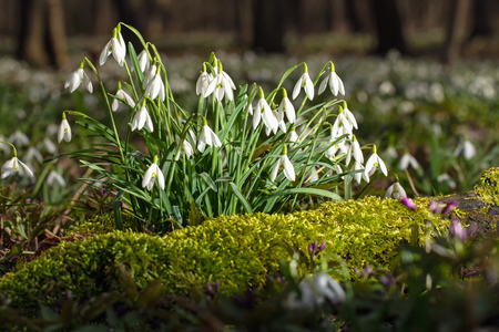 floodplain: Snowdrops growing from moss in a floodplain forest Stock Photo