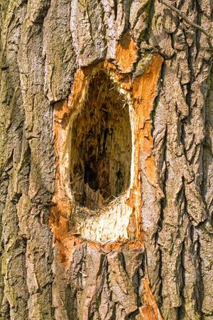 p�jaro carpintero: Great Spotted picote� un agujero en el �rbol Foto de archivo