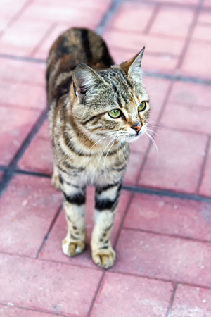 annealed: Annealed kitten quietly stepping on pavement