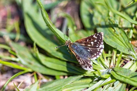 underwing: Red Underwing Skipper on the leaves of plantain
