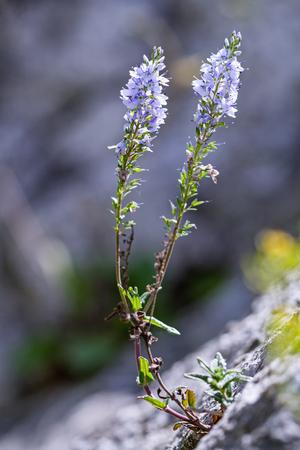 Heath Speedwell (Veronica officinalis) on the rock