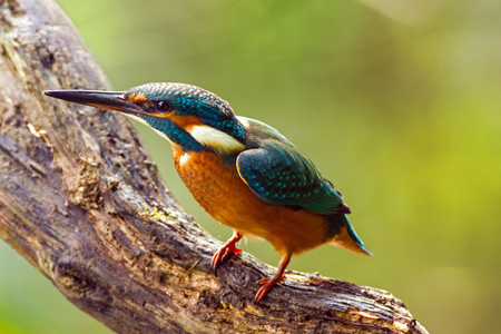 alcedo: Kingfisher (Alcedo atthis) watching for prey, sitting on a branch Stock Photo
