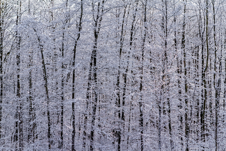 Densely wooded and snowy deciduous forest