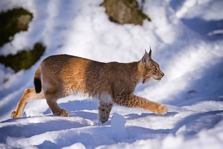 stepping on: Lynx quietly stepping in the snow in the woods Stock Photo