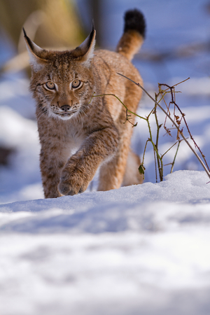 catlike: Lynx quietly stepping in the snow in the woods Stock Photo