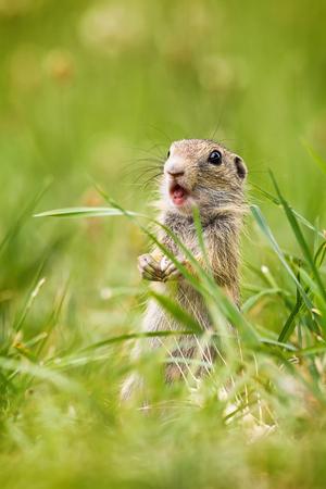 Small ground squirrel (Spermophilus citellus) whistles from danger